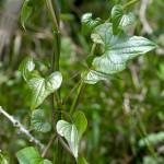 rafano-foglie